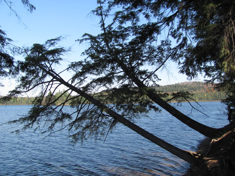 Pines whipped by the winds slope closely to Canisbay Lake