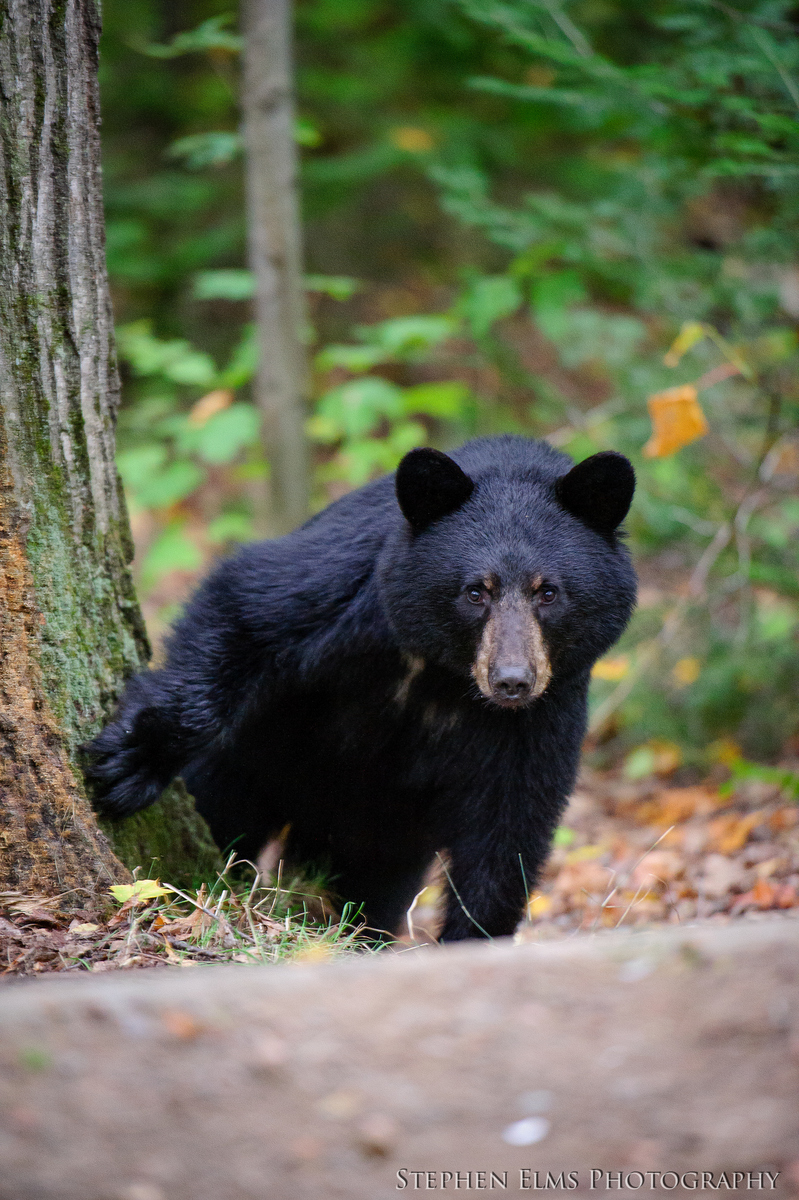 beautiful black bear Killarney Provincial Park