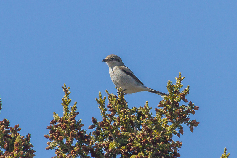 Northern Shrike - Winter birding in Ontario