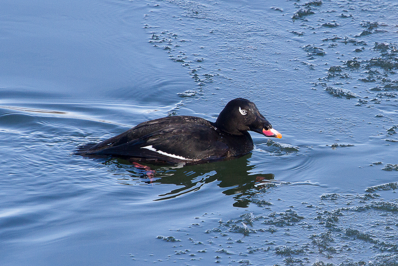 White-winged Scoter - Winter Birding in Ontario