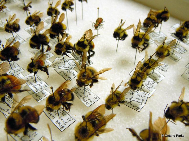Bee Specimens from the Specimen Room