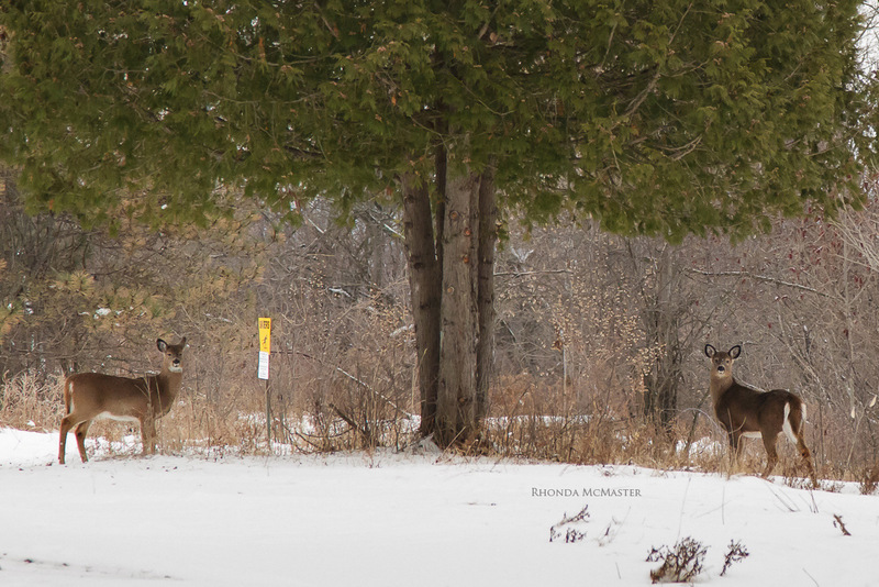 deers spotted in fitzroy provincial park