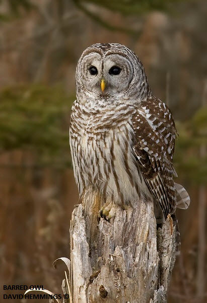 Barred Owl - spotted at Darlington Provincial Park
