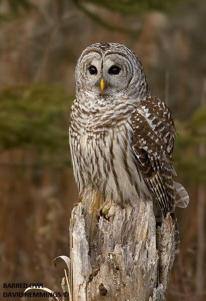 Barred Owl - spotted at Darlington Provincial Park