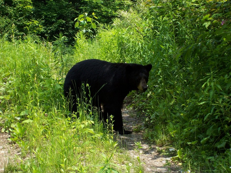 black bear safety in Ontario