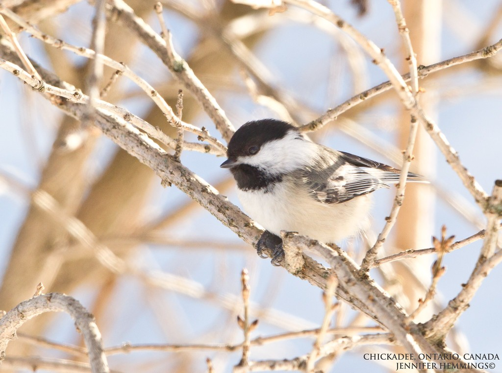 Chickadee - Bird