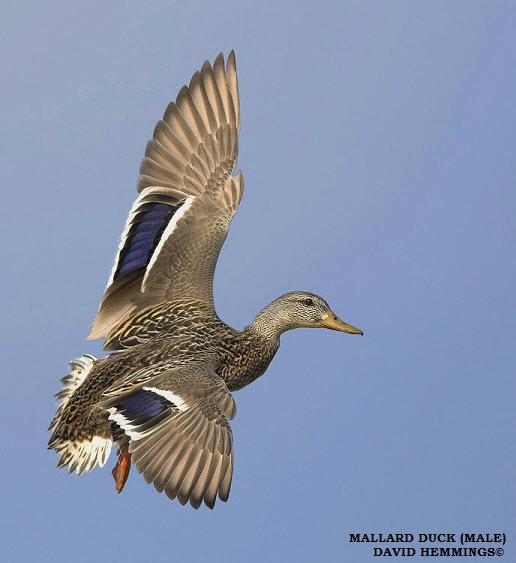 Mallard Duck - Birding in Ontario