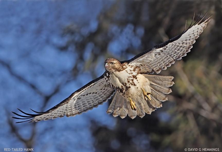 Red-Tailed Hawk at Darlington park