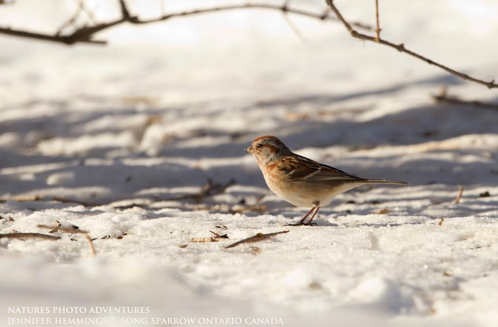 Song Sparrow - Birding in Ontario