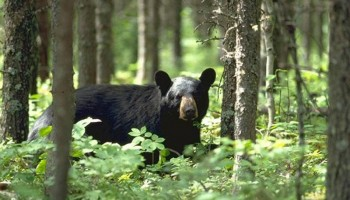 Camping Safely in Ontario – 'The Bear Country'