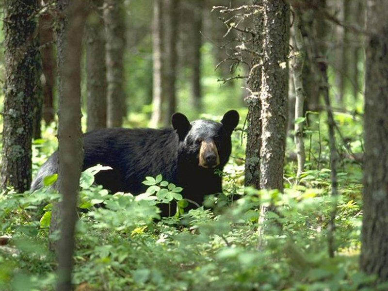 black-bear-in-woods-pictures