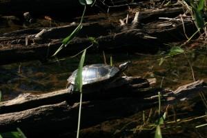 Turtle in Quetico Provincial Park